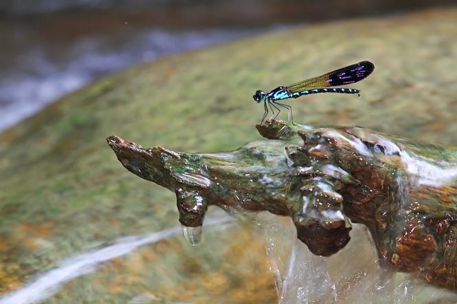 (Heliocypha perforata, male)
