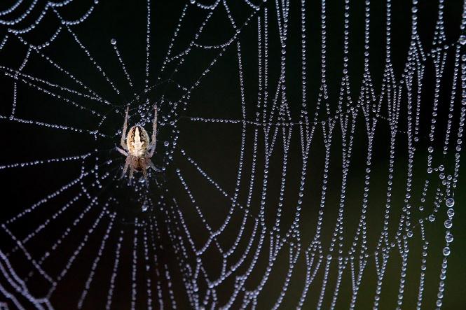 (Spider on dewy web)